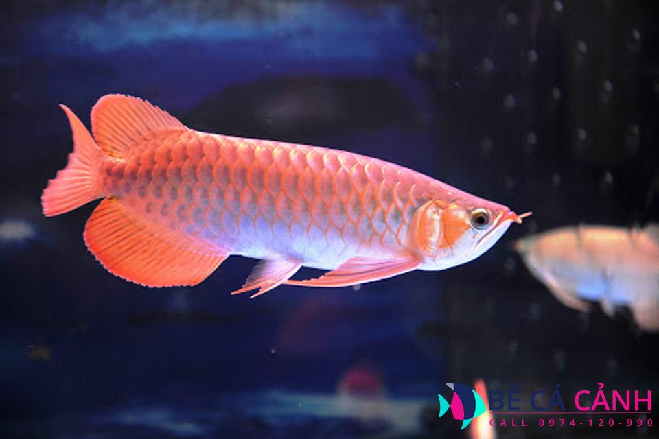 Cách nuôi cá rồng lên màu đẹp