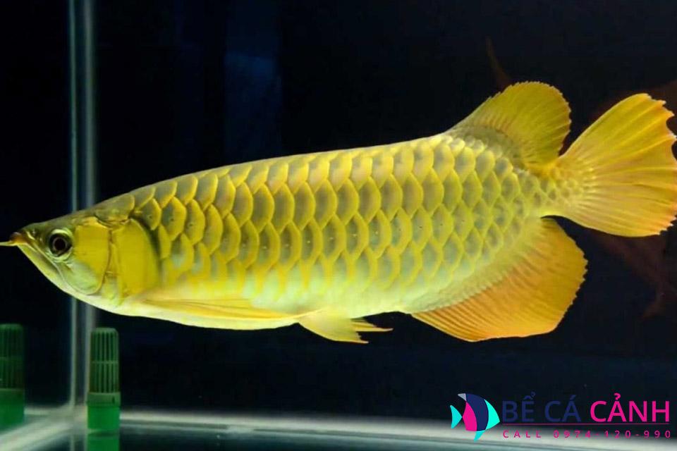 Bể cá rồng đẹp, giá rẻ tại HCM