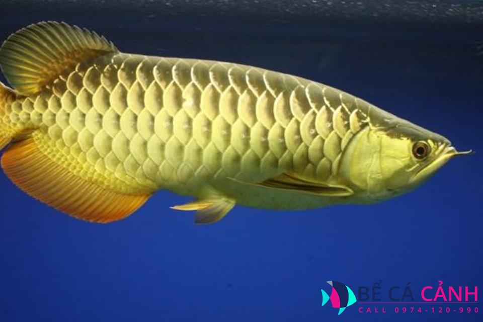 Bể cá rồng đẹp, giá rẻ tại TPHCM