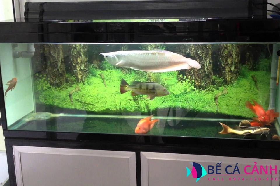 Cách nuôi cá Rồng lớn nhanh, khỏe mạnh, lên màu đẹp