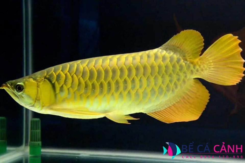 Cách nuôi cá rồng nhanh lớn, lên màu đẹp