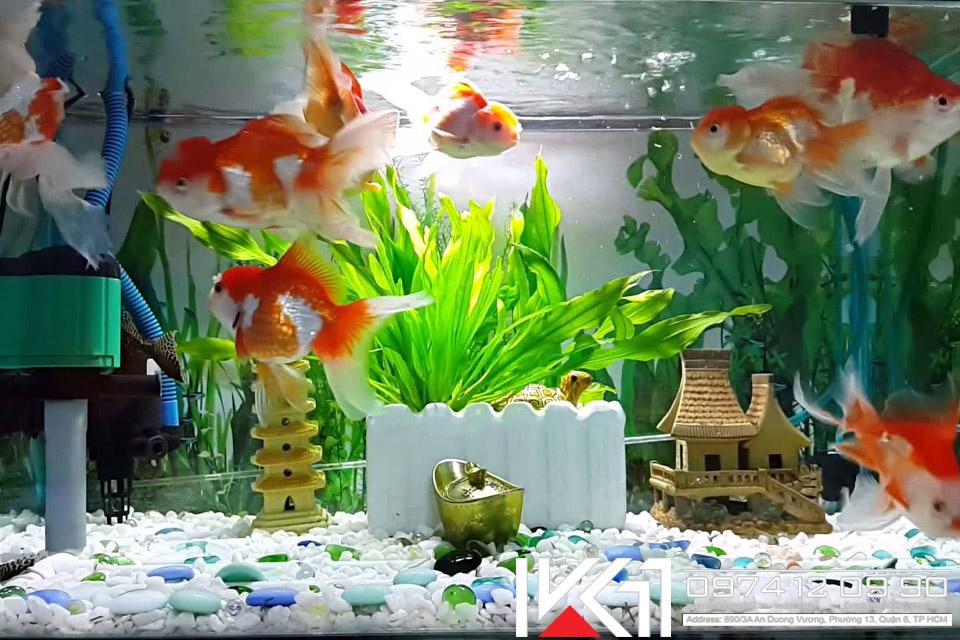 Tổng hợp các loài cá cảnh đẹp và dễ nuôi nhất Việt Nam