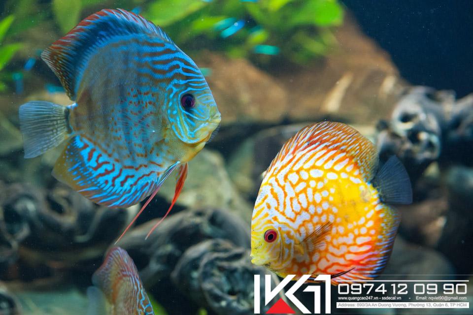 Các loài cá cảnh đẹp và dễ nuôi nhất Việt Nam