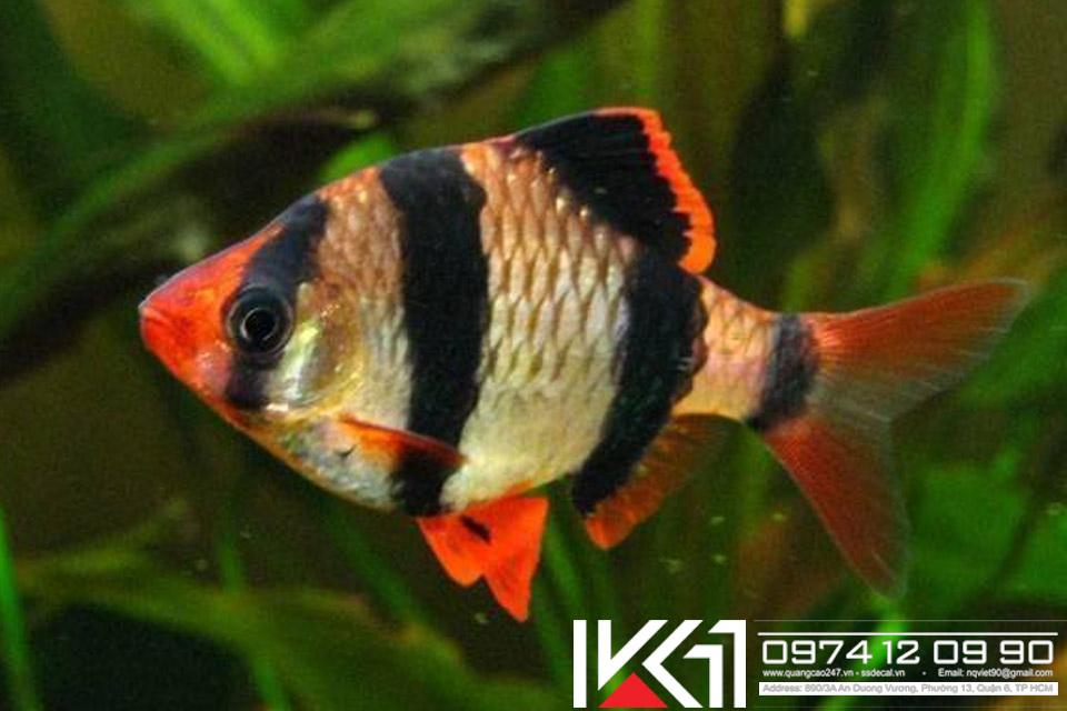 Các loài cá cảnh đẹp dễ nuôi nhất Việt Nam
