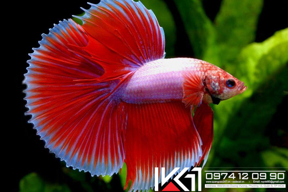 Tổng hợp các loài cá cảnh đẹp dễ nuôi nhất Việt Nam